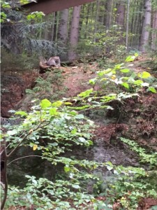 Wildkatzen im Nationalpark Bayerischer Wald