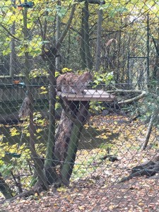 Luchs, wildtier, bayerischer wald, nationalpark, tierpark,