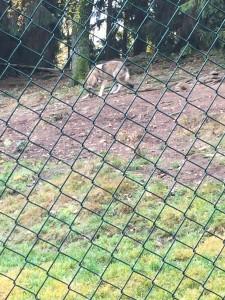 Wolf, wölfe, wolf im nationalpark bayerischer wald, tierpark, frier wolf